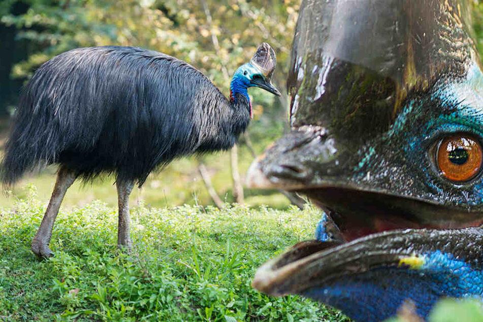 Der Kasuar tötete den 57-jährigen Vogelzüchter. (Symbolbild/ Fotomontage)
