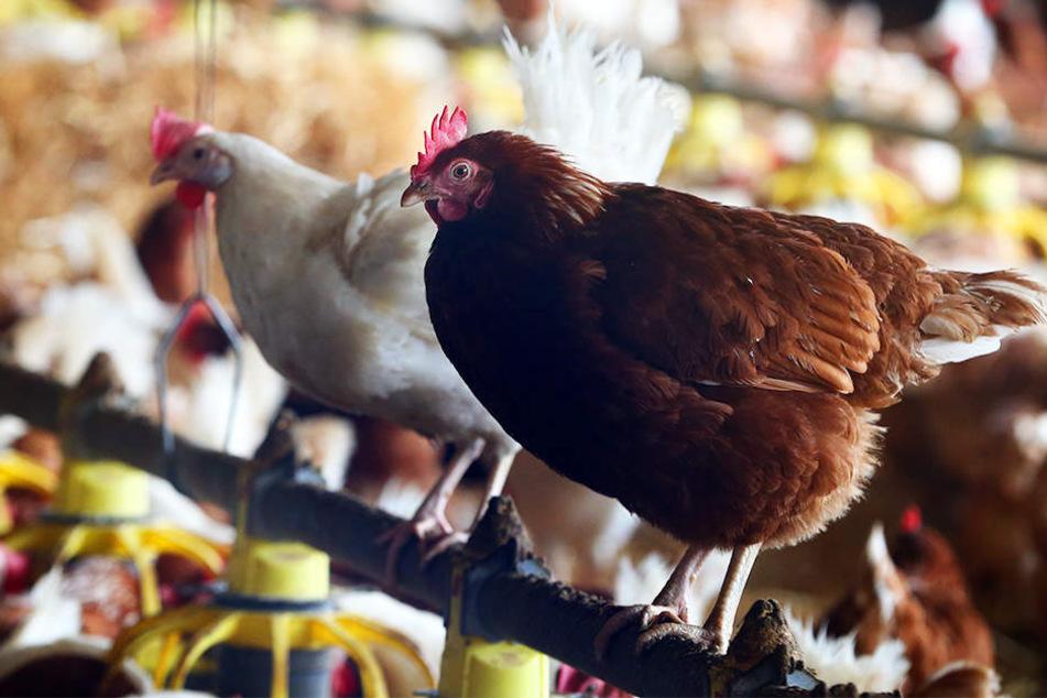 Hühner und sämtliches anderes Geflügel muss weiter im Stall ausharren.