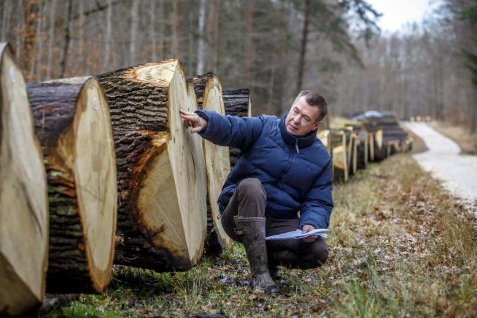 Gut genug gewachsen? Thomas Reuß-Trautwein (52) von der Holzindustrie Templin GmbH begutachtet schon mal einen Stamm.
