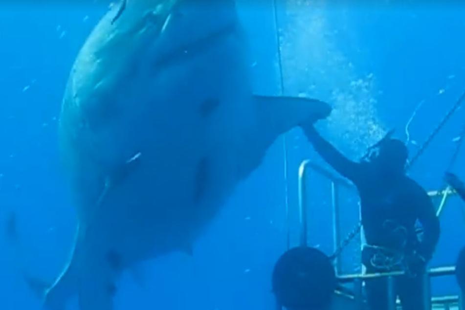 Mauricio Hoyos Padilla gelang die Aufnahme dieses Riesen-Hais.