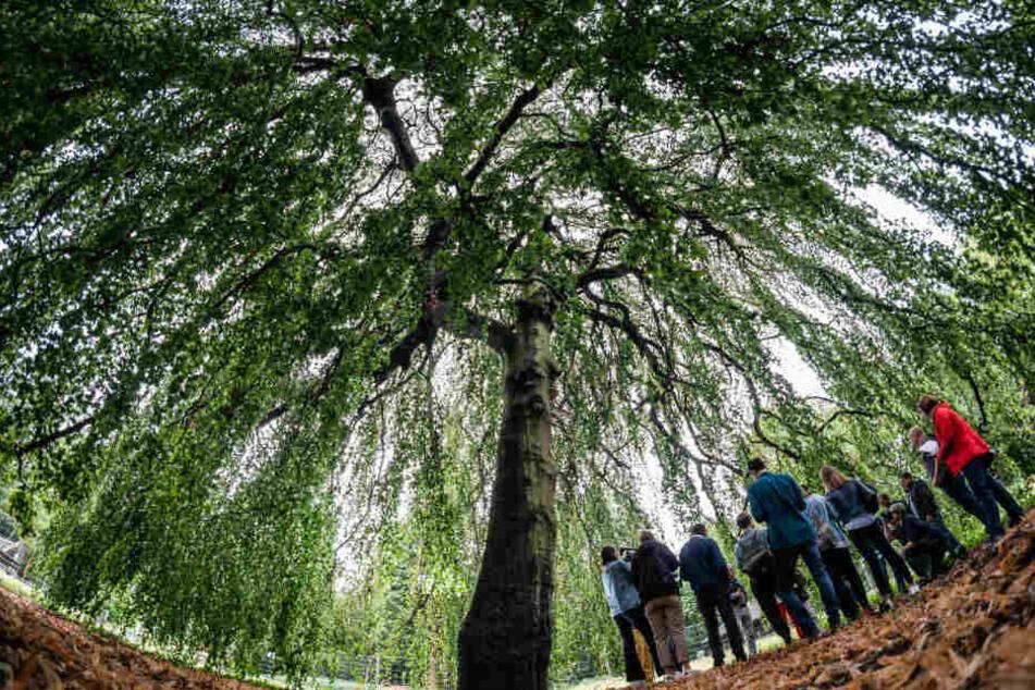 Auch diese 80 Jahre alten Hängebuche im Waldspielpark Louisa musste gefällt werden. Wegen der langen Trockenheit war der Baum von einem Pilz befallen.