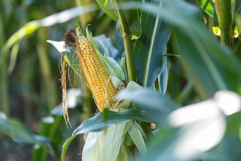 So sollte ein erntereifer Maiskolben aussehen. Aber zwei solcher Kolben pro Pflanze wären noch besser.