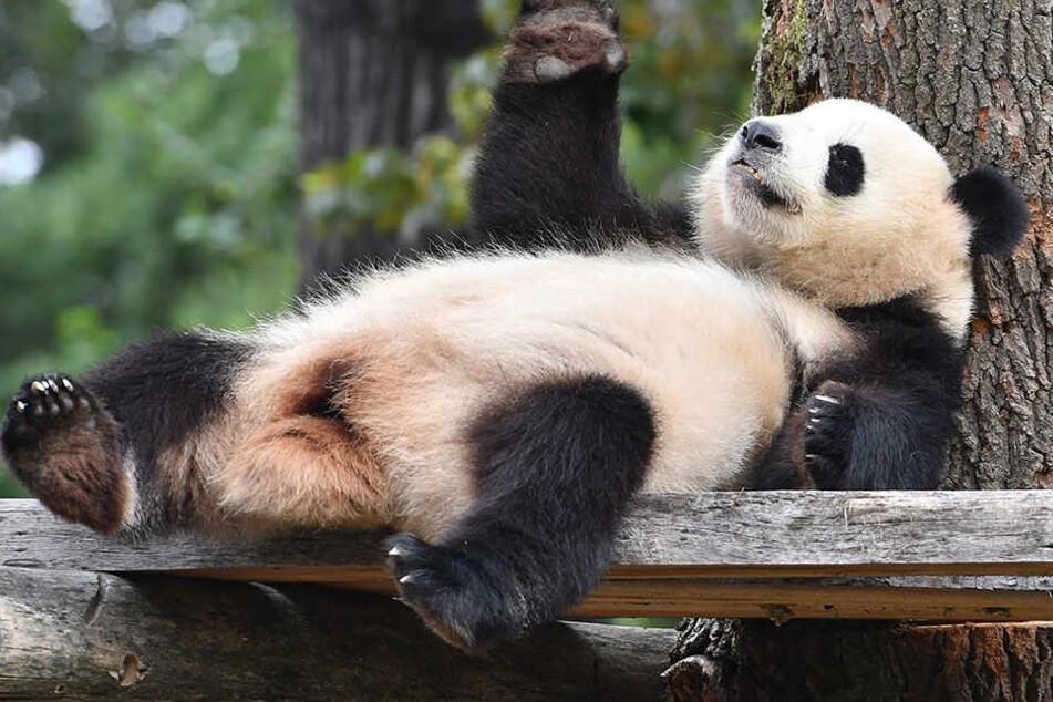 Meng Meng konnte sich den Titel als beliebtester Panda der Welt außerhalb von China sichern.