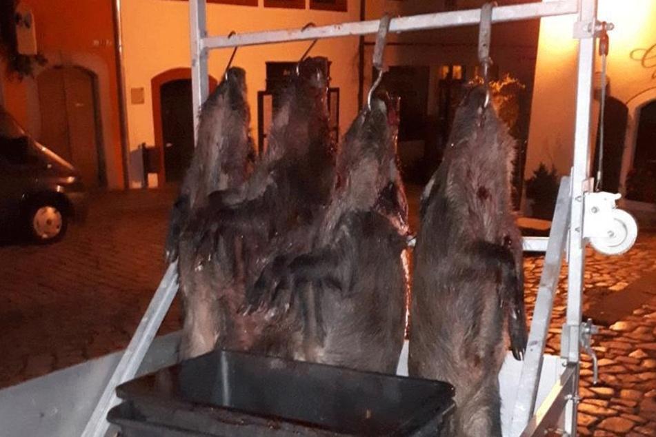 """Vier Wildschweine erlegten die Jäger nach ihrem spektakulären """"Auftritt"""" im Zentrum von Meißen."""