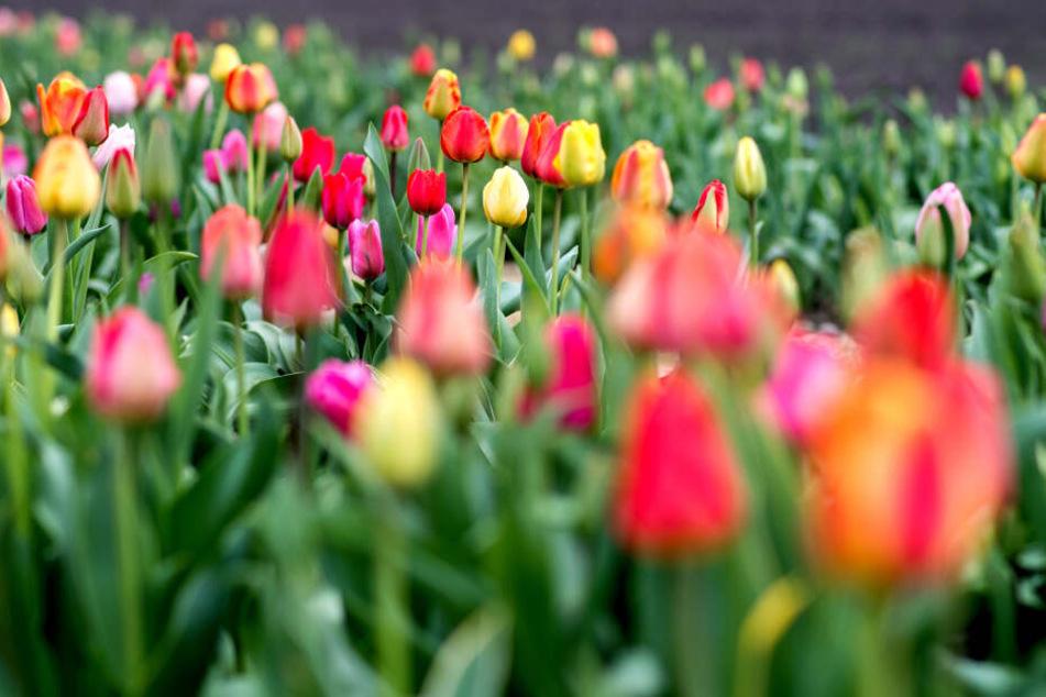 Für Blumenfreunde wird es am Wochenende eher ungemütlich.
