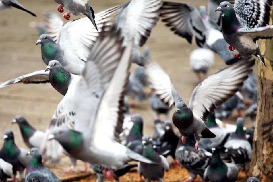 200 Tauben verbrannten in ihrem Taubenschlag. (Symbolbild)