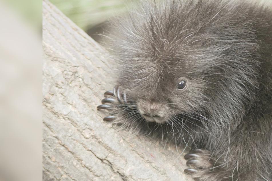 Nur gucken, nicht streicheln! Putziger Stachler-Nachwuchs im Zoo Hoyerswerda