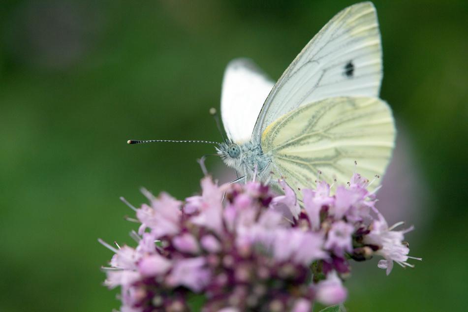 Immer weniger Schmetterlinge in NRW!