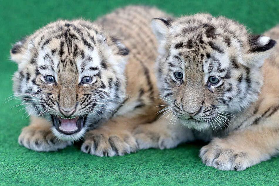 Rund 3500 Namensvorschläge für Tiger-Zwillinge im Zoo Leipzig