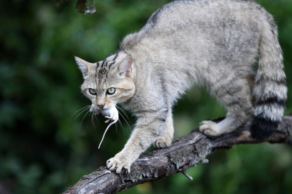 Eigentlich leben in dem Dorf Wildkatzen, zeigen sich dort den Besuchern.