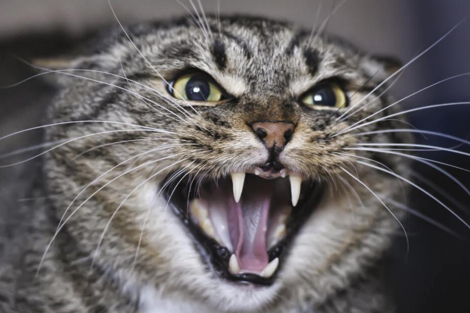 Eine wütende Katze wurde als Waffe auf einen Polizisten geschleudert. (Symbolbild)