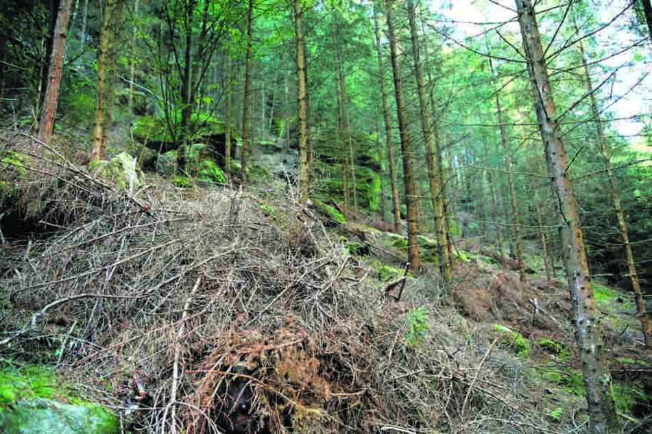 Umgestürzte Bäume sind beliebte Brutstätten von Schädlingen.