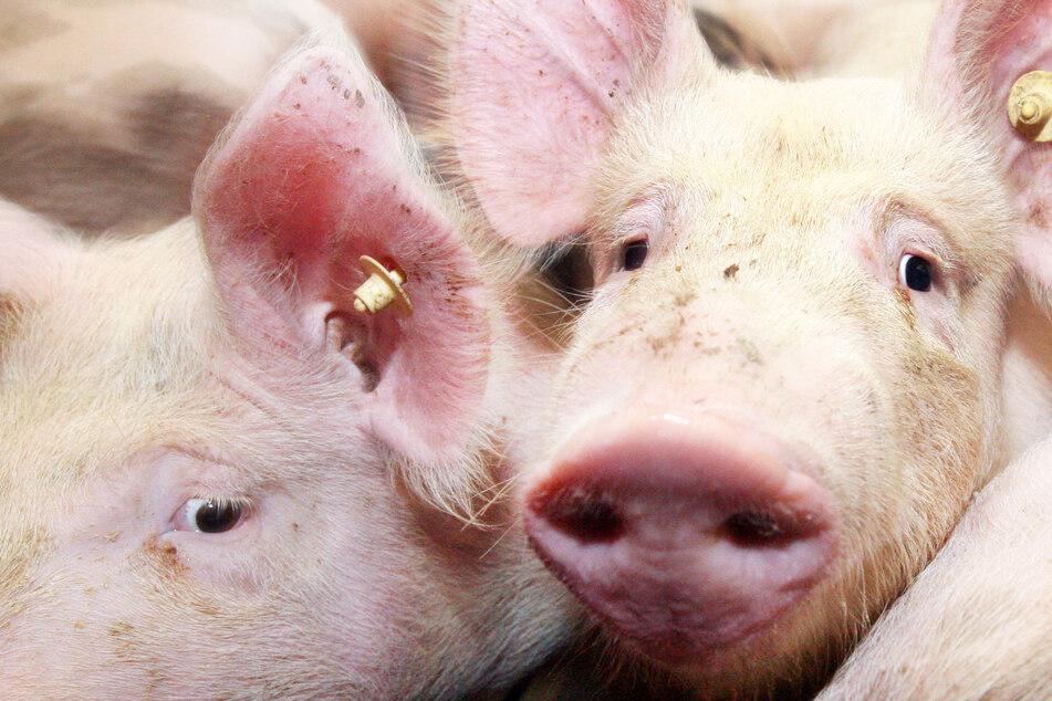 Die Zahl der Schweine und der schweinehaltenden Betriebe ist in Bayern gesunken. (Symbolbild)