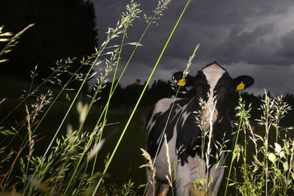 Eine Kuh steht auf einer Weide bei Stötten unter dunklen Regenwolken. Bei Gewitter haben die Tiere verschiedene Strategien zum Schutz. (Symbolbild)