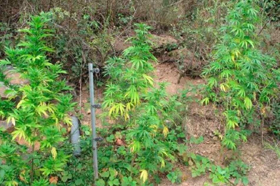 Am Weinberg gediehen die zwölf Cannabis-Pflanzen prächtig