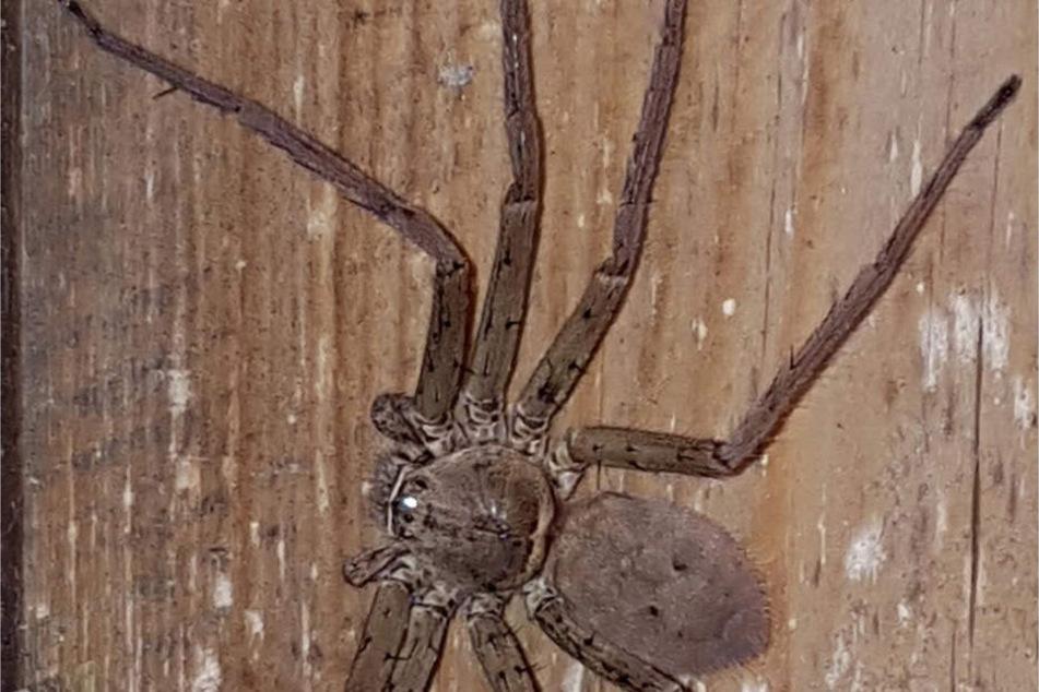 Diese Spinne musste am Dienstag in einem Lörracher Supermarkt eingefangen werden.