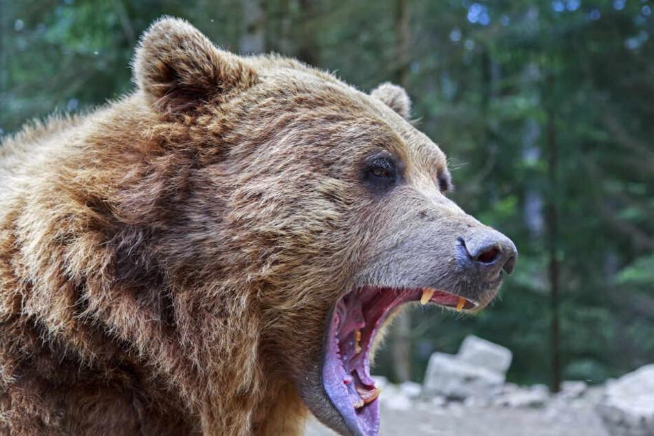 Ein Berliner wurde in Rumänien von einem Braunbären attackiert (Symbolbild).