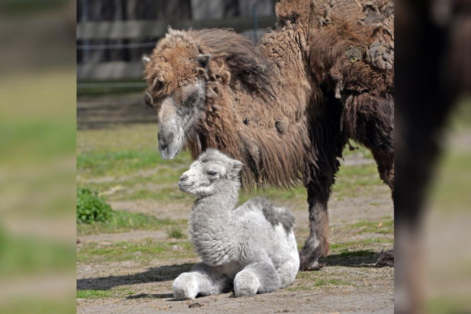 """Trampeltier-Dame """"Oma"""" (29) ist die Mama des kleinen Trampel-Mädchens und kümmert sich laut Tiergarten """"versiert und liebevoll"""" um ihren Nachwuchs."""