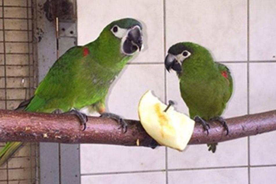 Drama im Zoo der Minis: Seltene Zwerg-Aras gestohlen