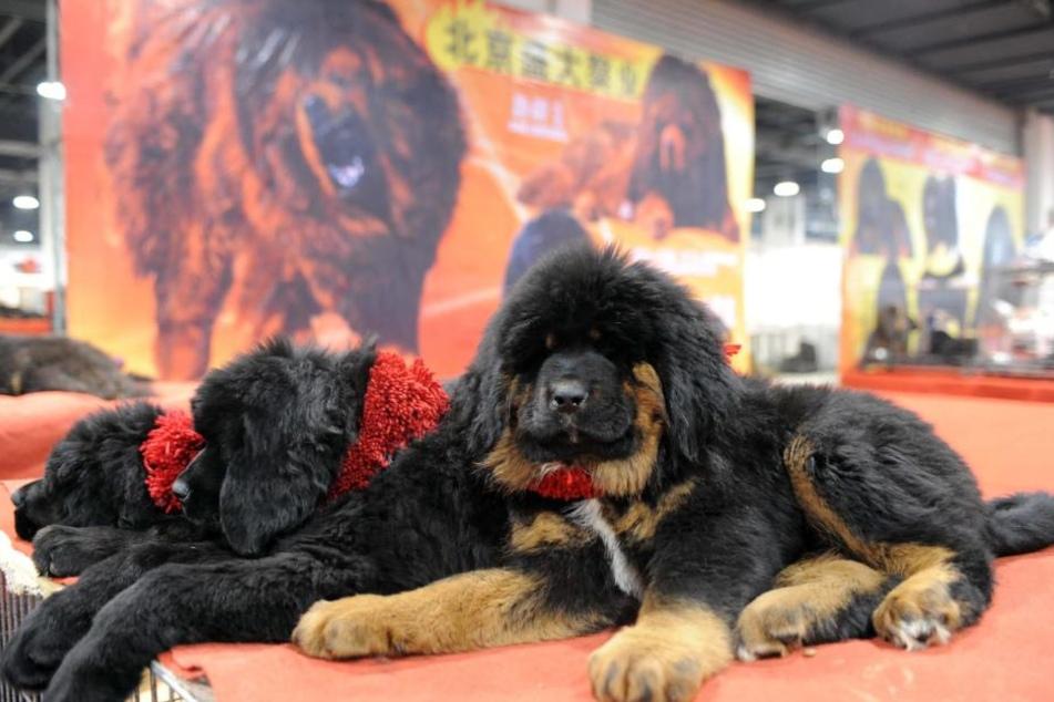 Bär oder Hund? Bereits als Welpen wiegen die Tibetdoggen bis zu 15 Kilo.