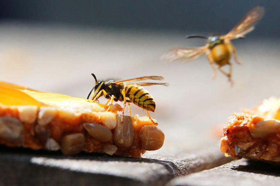 Wespen-Alarm: Kammerjäger im Dauereinsatz