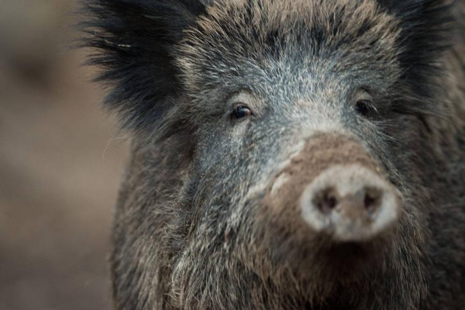 Ein Wildschwein im Wildschweingehege in Stuttgart. (Symbolbild)