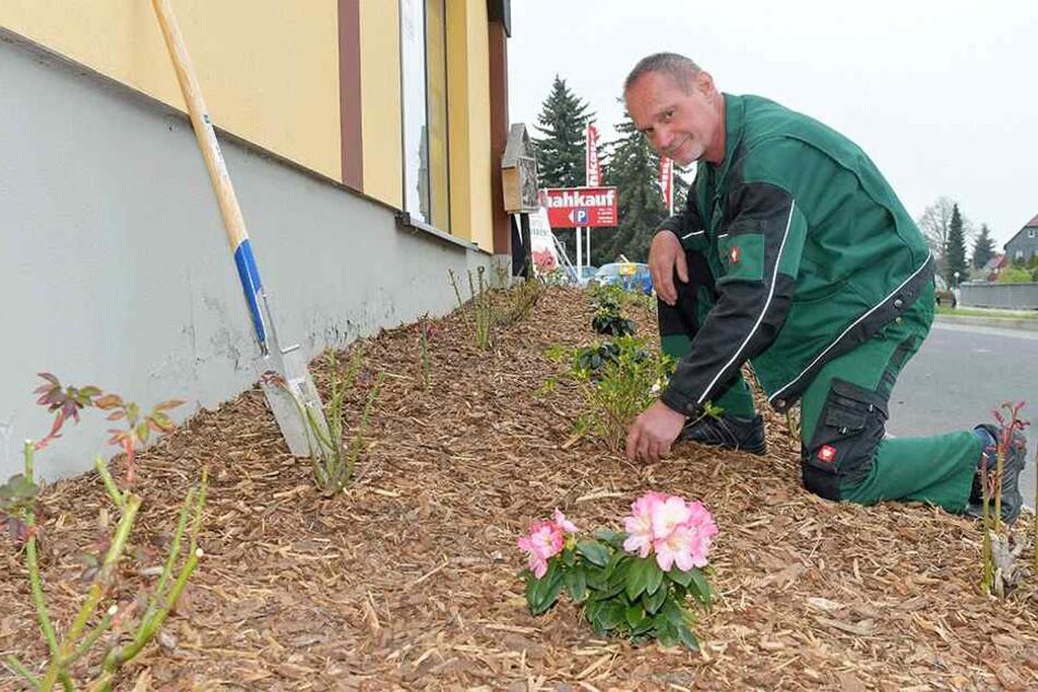 Hausmeister Ingolf Eger (59) pflanzt die Rosen nun schon zum dritten Mal. In der Hoffnung, dass sie nicht schon wieder geklaut werden.