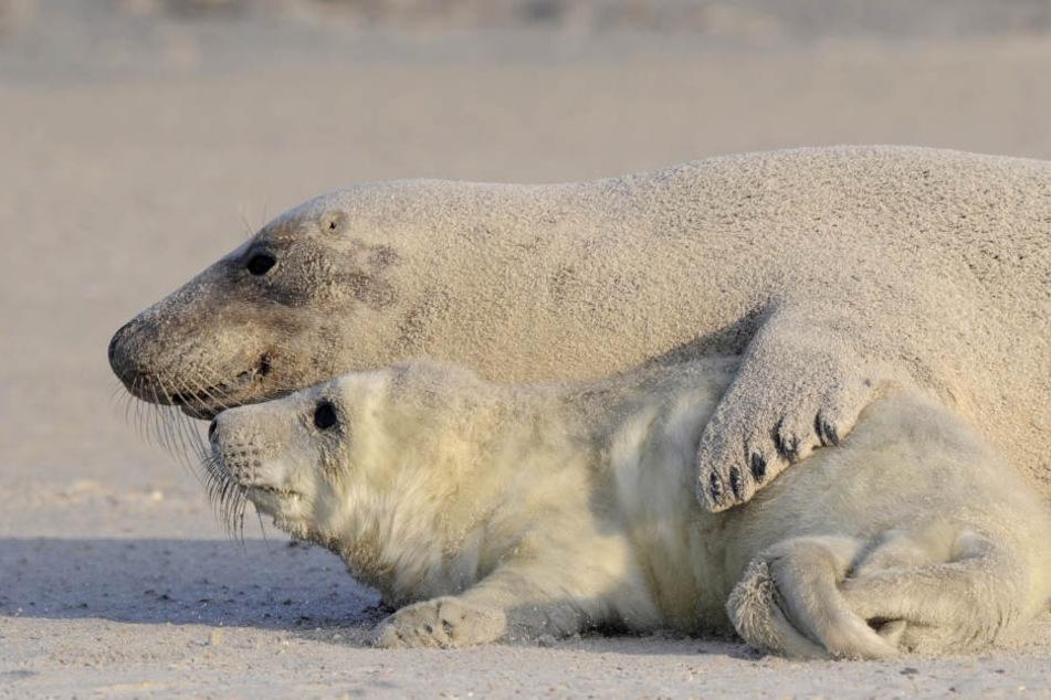 It's Beachtime! Eine junge Kegelrobbe und seine Mutter liegen am Strand.