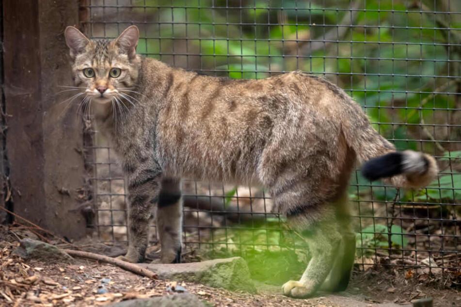 Erwischt! Die eine Hälfte des Wildkatzen-Pärchens im Wildgatter am Gehege-Rand.