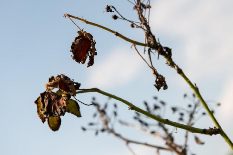Verdorrte Blätter einer Brombeerpflanze in einer Baumschule in Poxdorf (Bayern).
