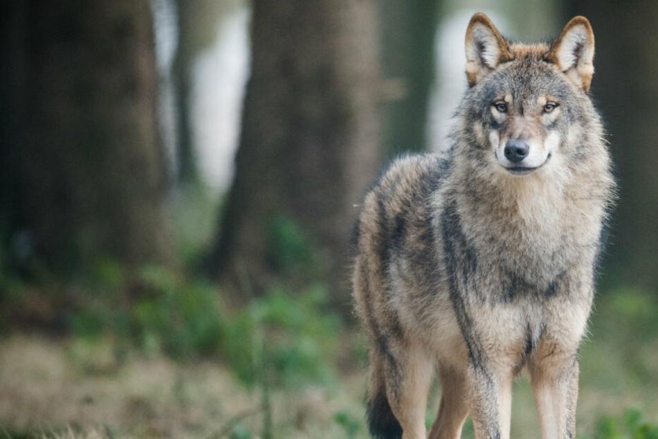 Mehrere Sichtungen von Wölfen wie diesem gab es in den letzten Monaten in NRW.