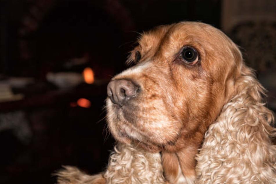 Bei dem Hund in Kleve handelte es sich um einen Cocker Spaniel.