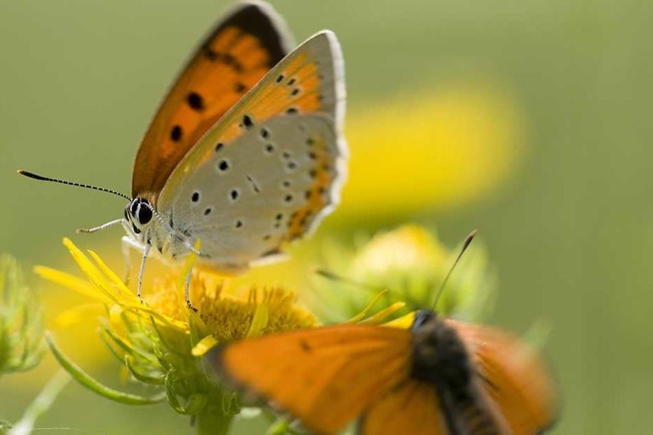 In Sachen Schmetterlinge machen jetzt die Regierungsfraktionen CDU und SPD sowie die Grünen gemeinsame Sache.