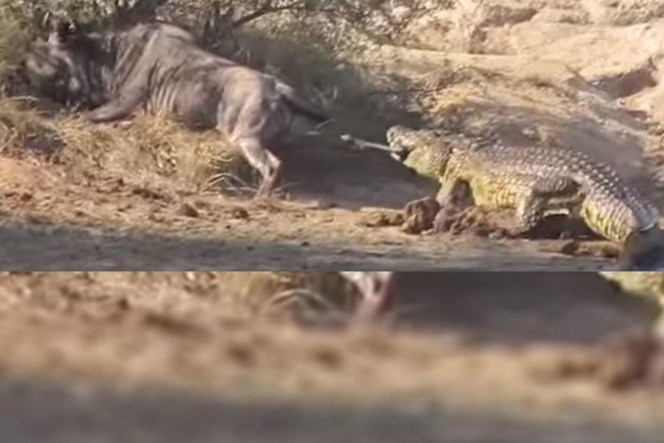 Krokodil verbeißt sich in Gnu, dann naht unerwartet Hilfe