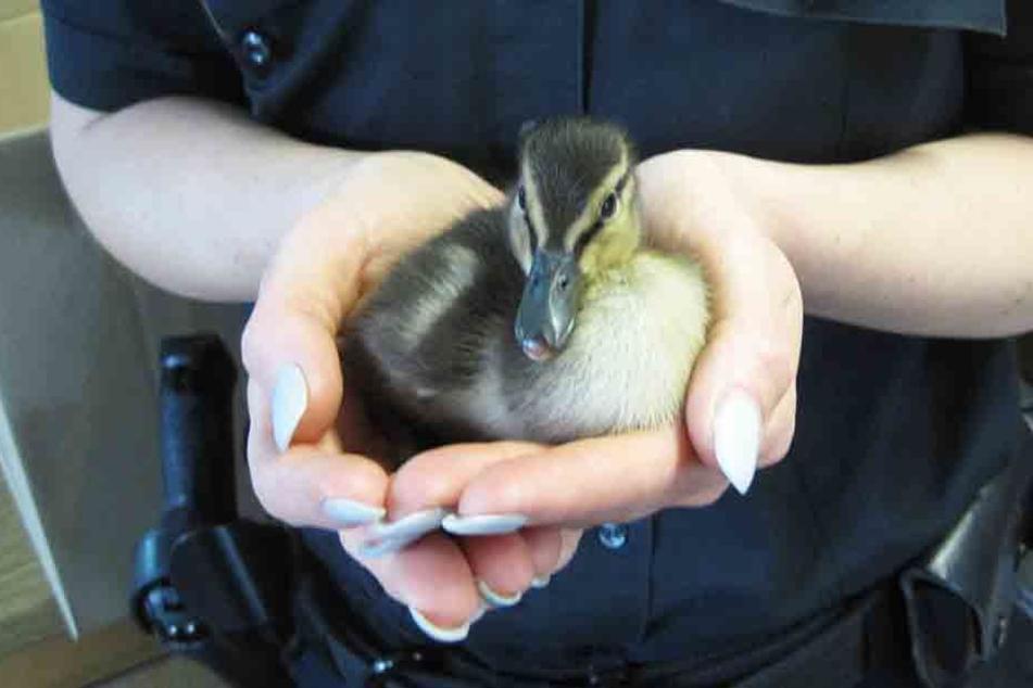 Die Polizei rückte zum tierischen Einsatz aus und rettete die Entenküken, die sich auf die Dessauer Straße verirrt hatten. (Symbolbild)