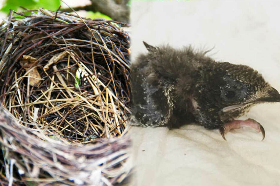 Tragisches Schicksal: Vögelchen stürzen sich vor lauter Hitze aus dem Nest