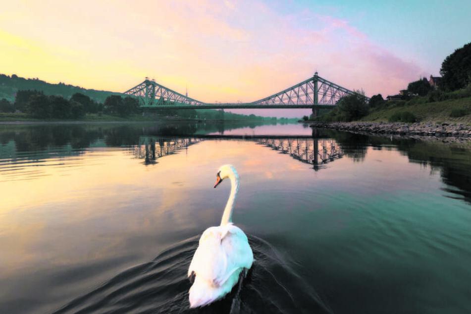 Tolle Aufnahme: ein Schwan auf der Elbe vorm Blauen Wunder.