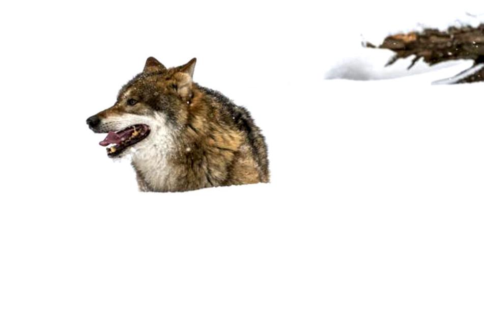 Wölfe - weil sich die Tiere in Deutschland immer mehr ausbreiten, kooperieren  die Länder.