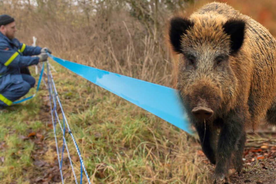 Schweinepest im Anmarsch: So will sich Sachsen schützen