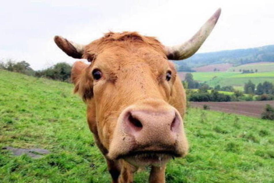 Die Kühe sprangen plötzlich auf und griffen das Paar an. (Symbolbild)