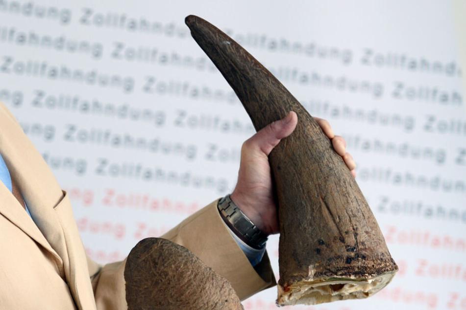 Der Pressesprecher des Zollfahndungsamtes Frankfurt am Main hält zwei am Flughafen Frankfurt sichergestellte Nashorn-Hörner in den Händen.