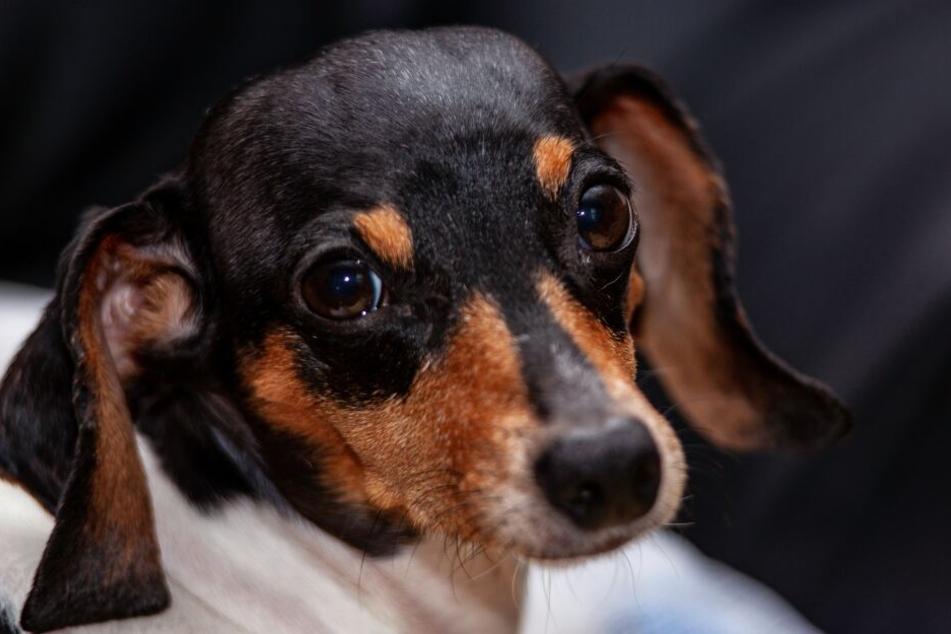 Wer kann diesem Hund schon widerstehen? Aber manipuliert uns Fiffi mit diesem Blick absichtlich?