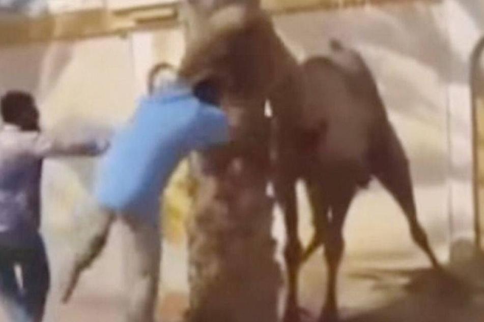 Wütendes Kamel beißt Mann den Kopf ab