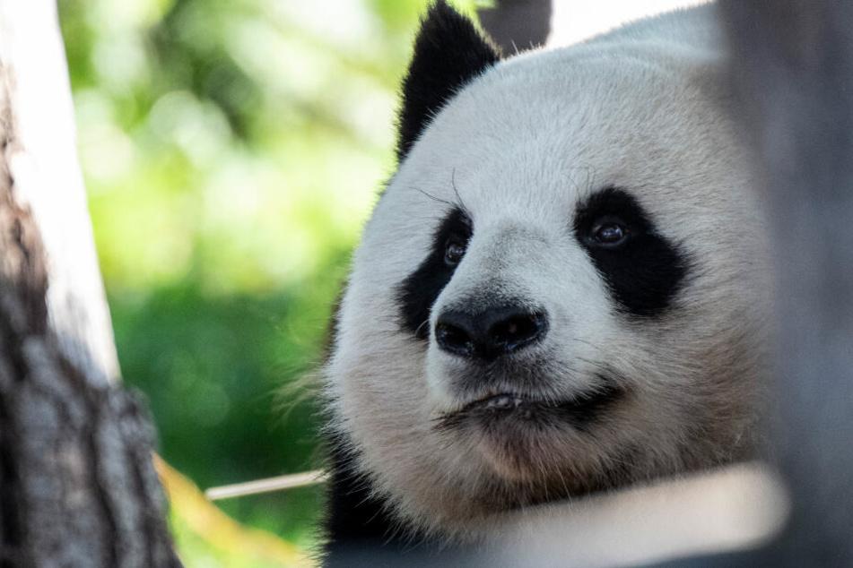 Sorge um Berlins Panda-Männchen: Hat Jiao Quing ein Nieren-Problem?