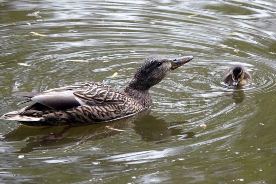 Wenig später waren Entenmutter und Küken wieder auf dem Schlossteich vereint.