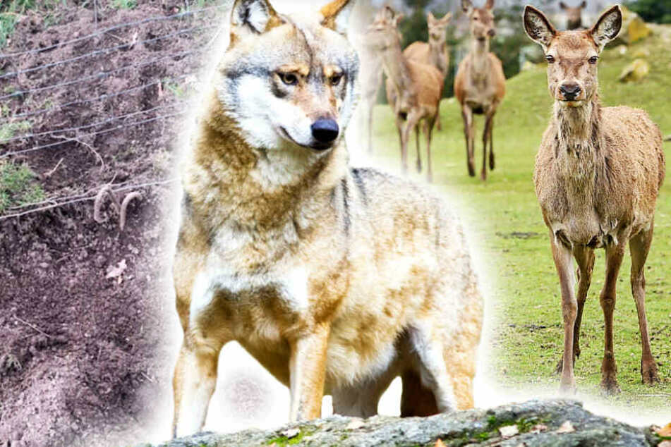 Trotz sicherem Zaun: Wolf reißt Damwild im Schutzgehege