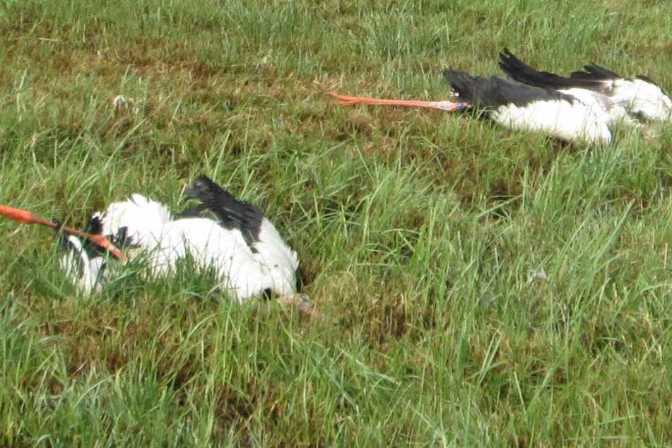 Drei Störche und zwei Möwen lagen tot auf einem Feld bei Bremen. Sie wurden erschossen.