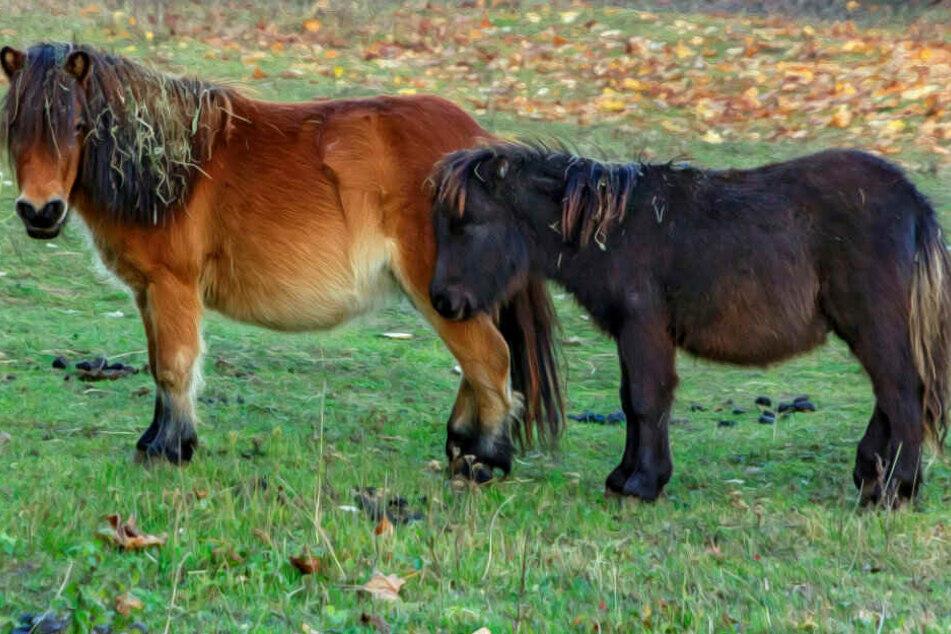 Tierischer Verkehr: Ponys blockieren A44!