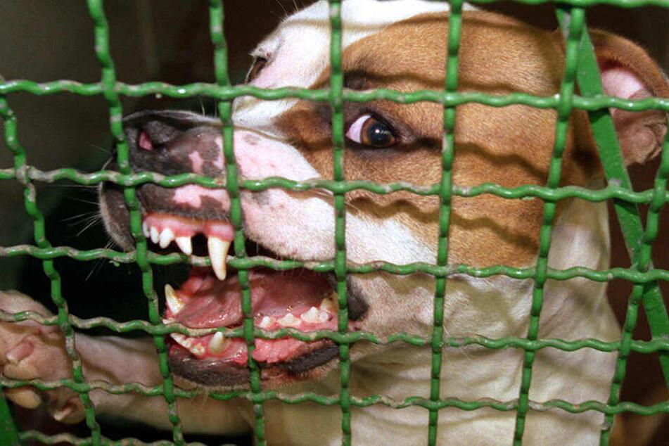 """Pitbulls gelten als sehr aggressive Rasse. Immer wieder kommt es zu tödlichen Attacken durch die Tiere. Das Problem ist allerdings meistens Menschen-gemacht, weil die Hunde von den Besitzern extra """"scharf gemacht"""" werden. (Symbolbild)"""