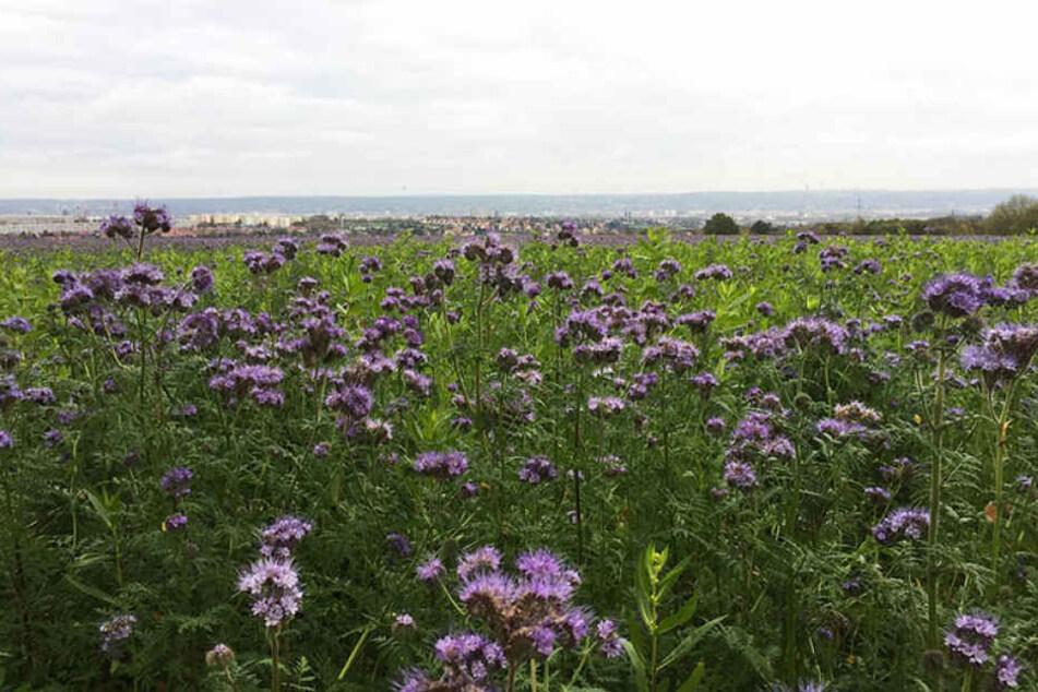 So wie hier in Bannewitz bei Dresden blühen Sachsens Felder gerade in einer lila Pracht.